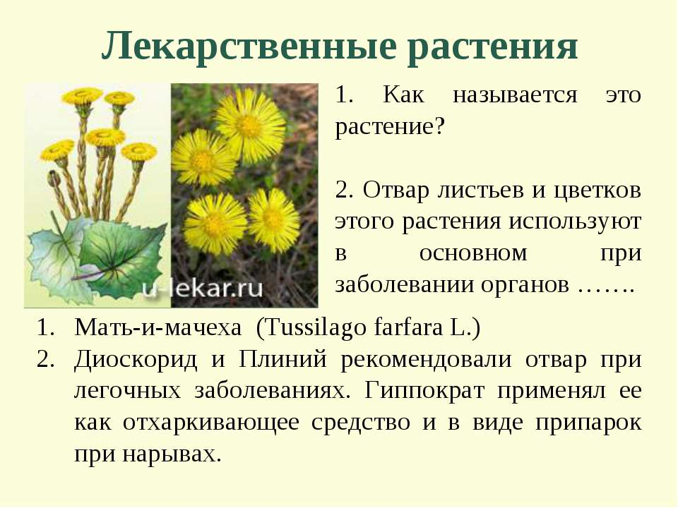 Лекарственные растения 1. Как называется это растение? 2. Отвар листьев и цве...
