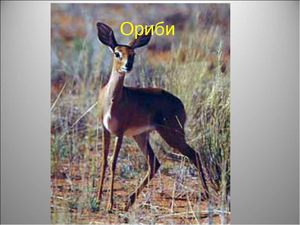Ориби