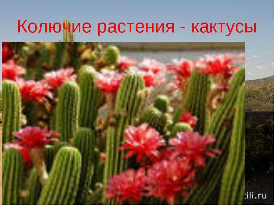 Колючие растения - кактусы