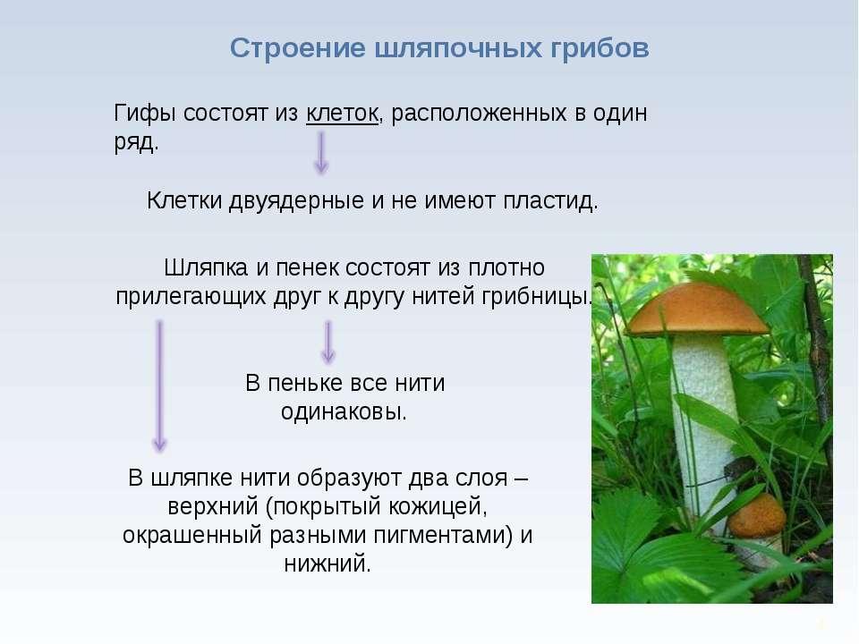 * Строение шляпочных грибов Гифы состоят из клеток, расположенных в один ряд....