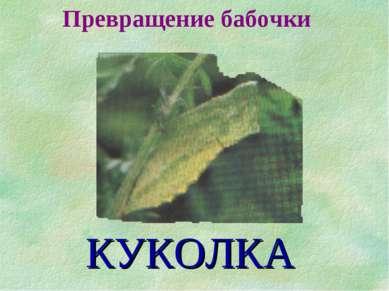 Превращение бабочки КУКОЛКА