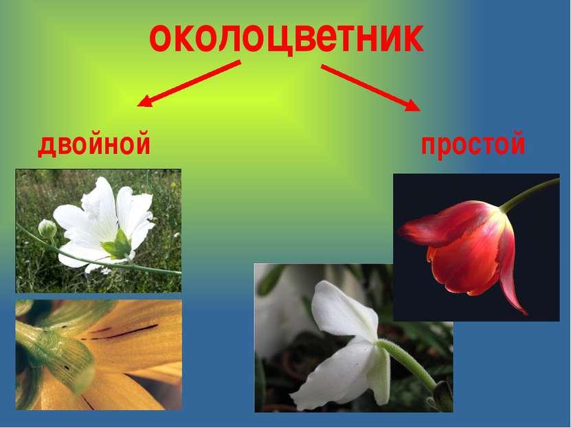 околоцветник простой двойной