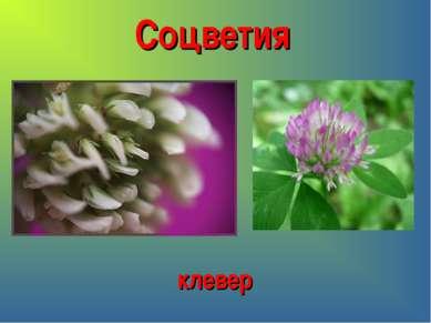 Соцветия клевер