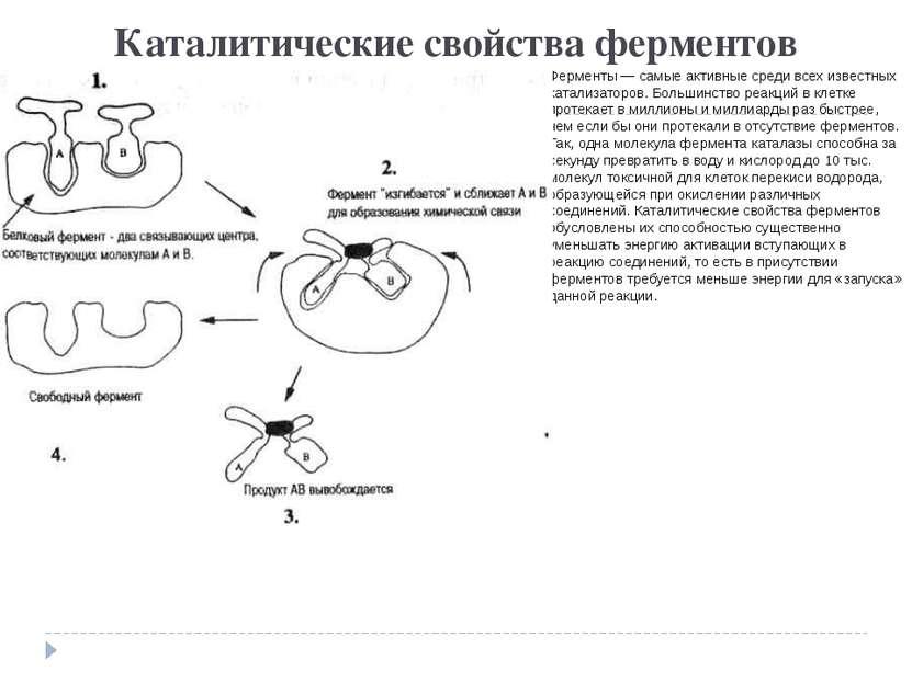 Каталитические свойства ферментов Ферменты — самые активные среди всех извест...
