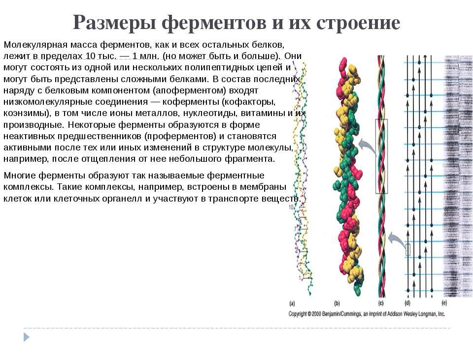Размеры ферментов и их строение Молекулярная масса ферментов, как и всех оста...