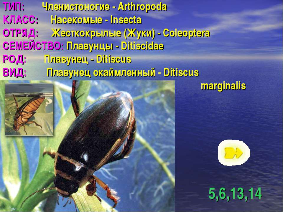 ТИП: Членистоногие - Arthropoda КЛАСС: Насекомые - Insecta ОТРЯД: Жесткокрылы...