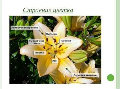 Чашечка Чашечка — это слой, удерживающий цветок снаружи. Чашечка состоит из ч...