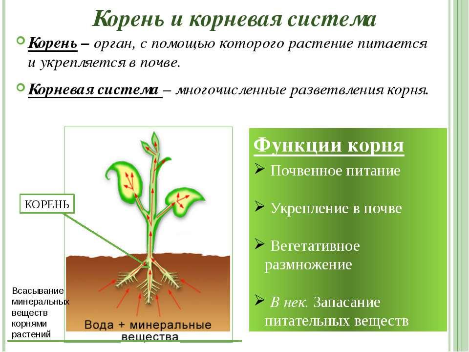 Корень и корневая система Корень – орган, с помощью которого растение питаетс...