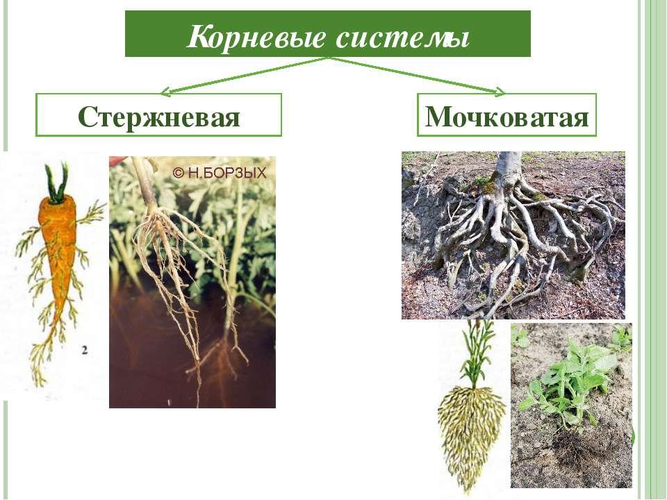 Корневые системы Мочковатая Стержневая