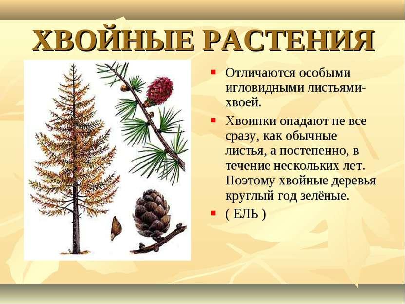 ХВОЙНЫЕ РАСТЕНИЯ Отличаются особыми игловидными листьями- хвоей. Хвоинки опад...