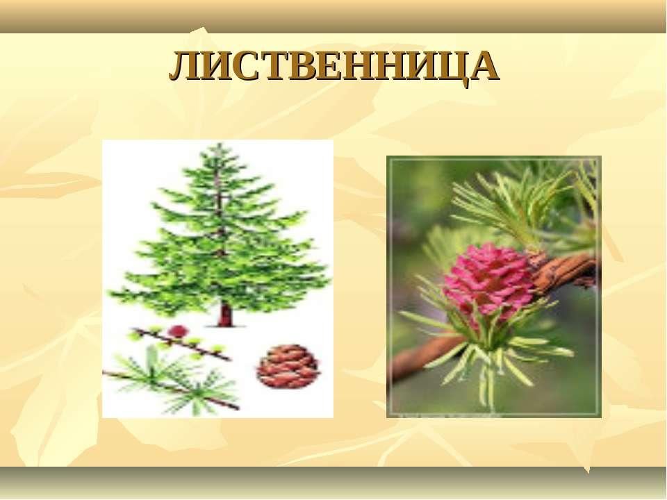 ЛИСТВЕННИЦА
