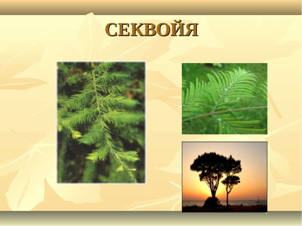 СЕКВОЙЯ