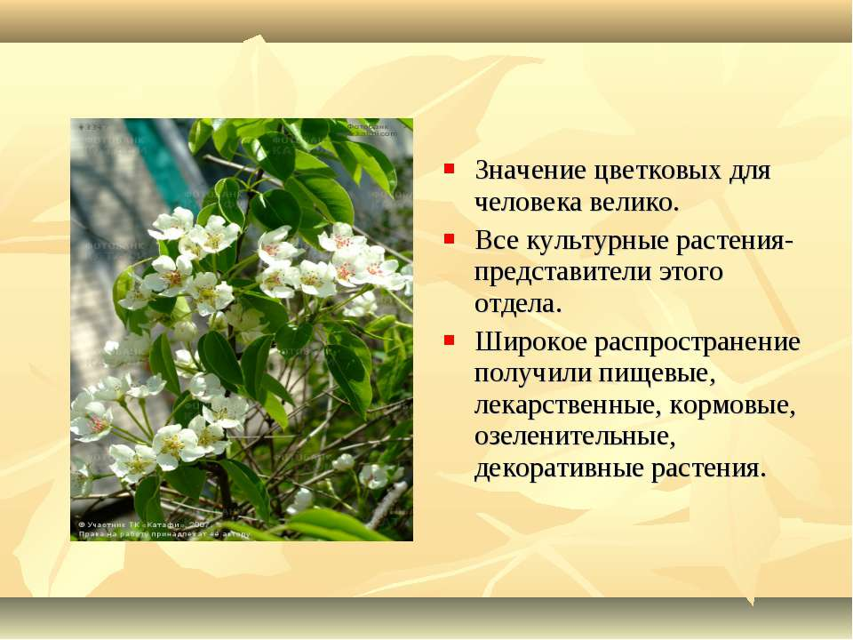 Значение цветковых для человека велико. Все культурные растения- представител...
