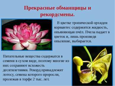 Прекрасные обманщицы и рекордсмены. В цветке тропической орхидеи кориантес со...