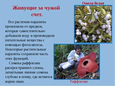 Живущие за чужой счет. Все растения-паразиты произошли от предков, которые са...