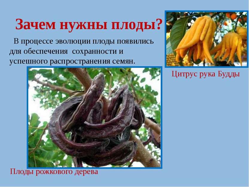 Зачем нужны плоды? В процессе эволюции плоды появились для обеспечения сохран...