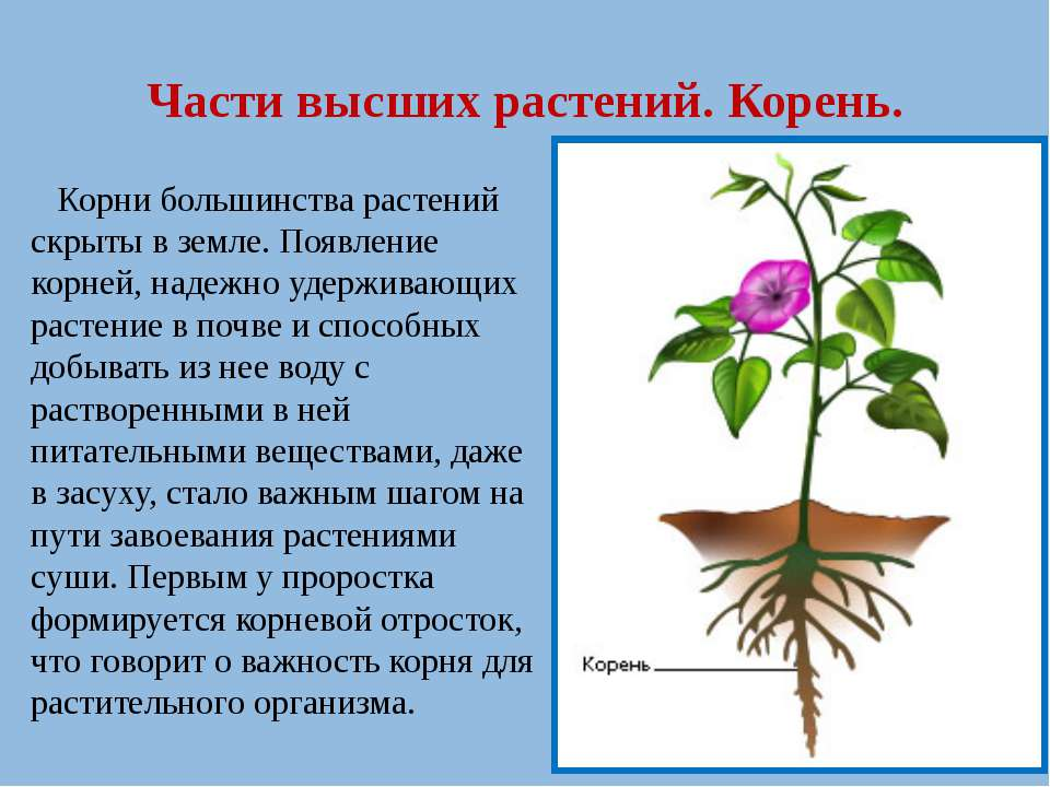 Части высших растений. Корень. Корни большинства растений скрыты в земле. Поя...