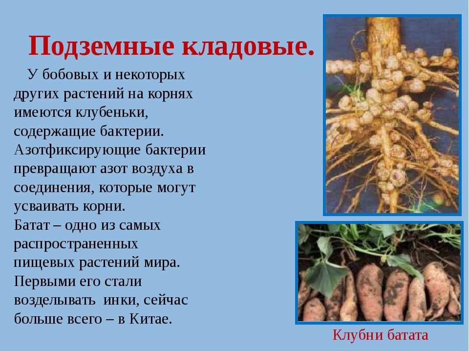 Подземные кладовые. У бобовых и некоторых других растений на корнях имеются к...