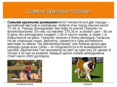 Самые крупные собаки Самыми крупными размерами могут похвастаться две породы ...