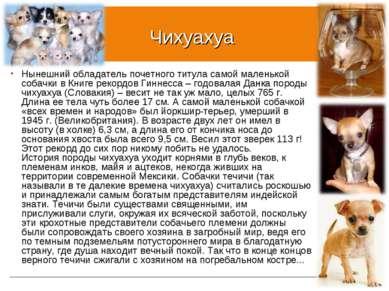 Чихуахуа Нынешний обладатель почетного титула самой маленькой собачки в Книге...
