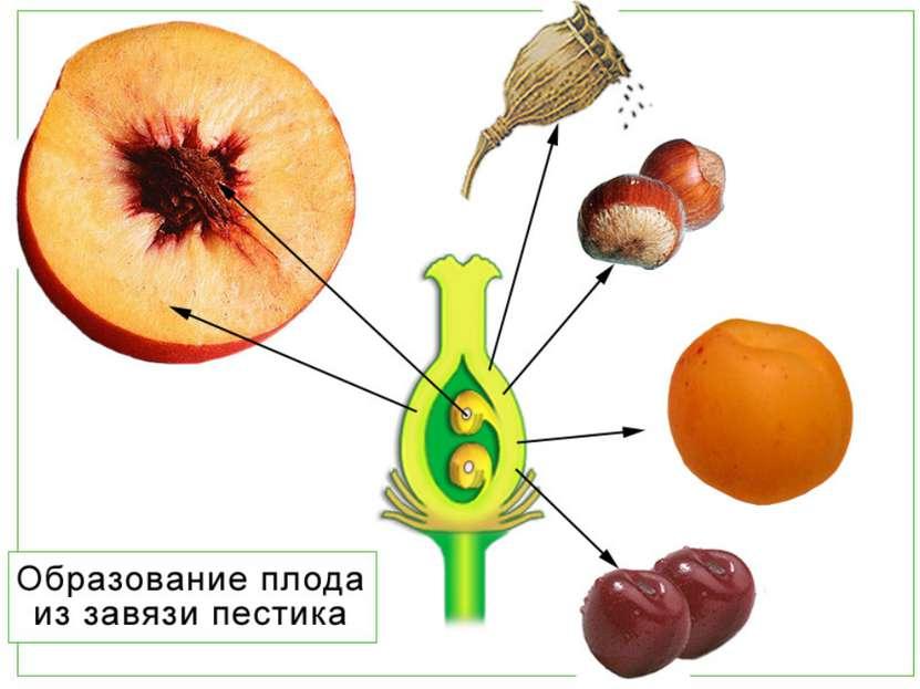 С.Г. Навашин 1898 году открыл механизм двойного оплодотворения
