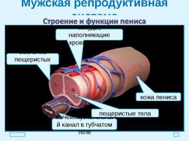 Мужская репродуктивная система яички покой эрекция пещеристые тела пещеристые...