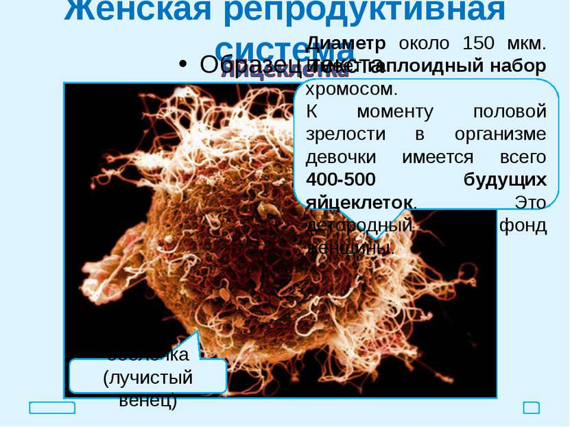 Женская репродуктивная система оболочка (лучистый венец) Диаметр около 150 мк...