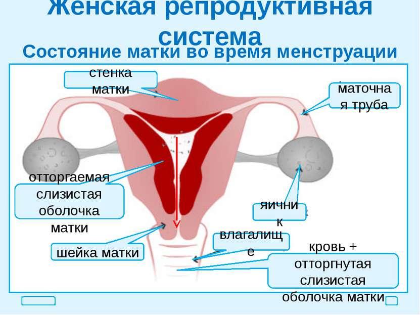 Женская репродуктивная система Состояние матки во время менструации стенка ма...