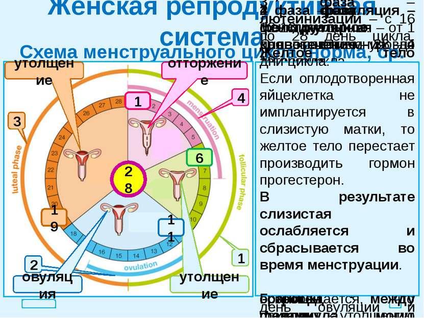 Женская репродуктивная система Схема менструального цикла (норма, ср. знач.) ...
