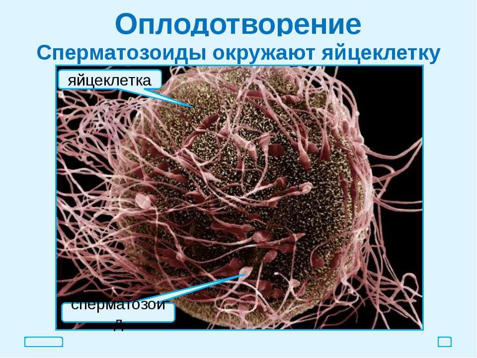 Оплодотворение Сперматозоиды окружают яйцеклетку яйцеклетка сперматозоид