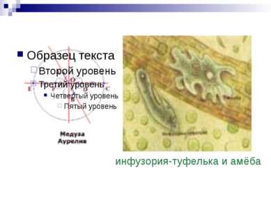 инфузория-туфелька и амёба