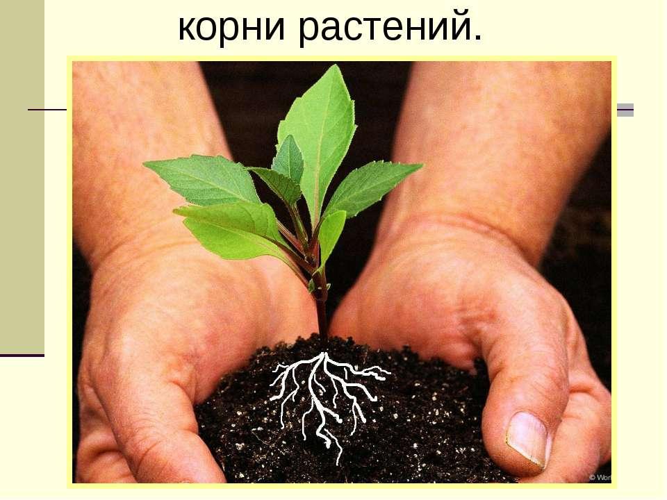 корни растений.