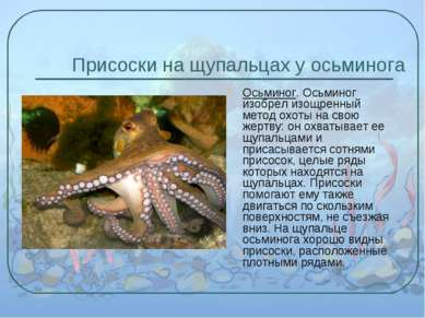 Присоски на щупальцах у осьминога Осьминог. Осьминог изобрел изощренный метод...