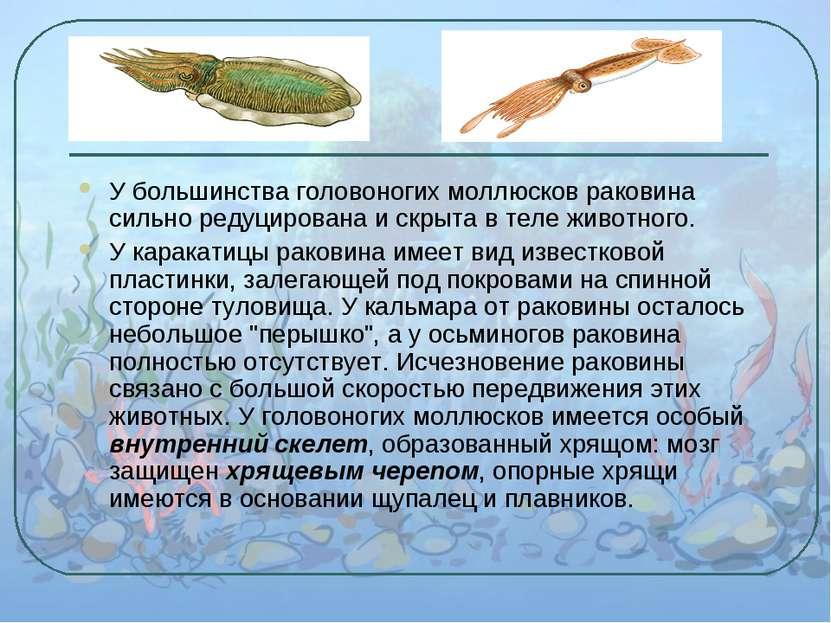 У большинства головоногих моллюсков раковина сильно редуцирована и скрыта в т...