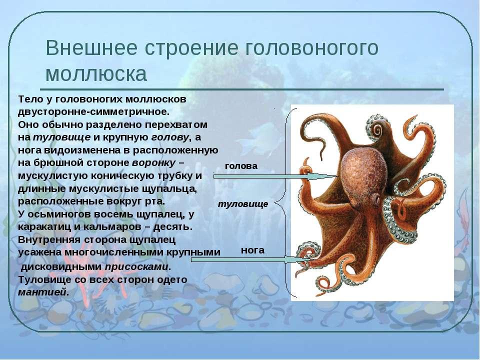 Внешнее строение головоногого моллюска Тело у головоногих моллюсков двусторон...
