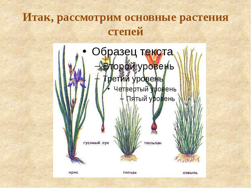 Итак, рассмотрим основные растения степей
