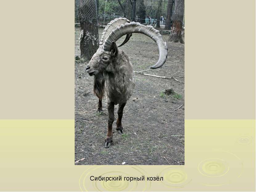 Сибирский горный козёл