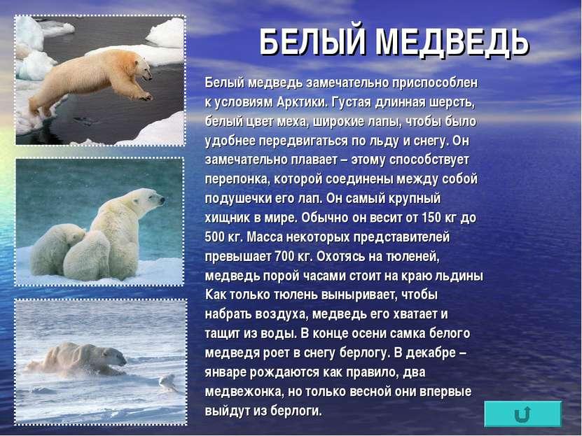 БЕЛЫЙ МЕДВЕДЬ Белый медведь замечательно приспособлен к условиям Арктики. Гус...