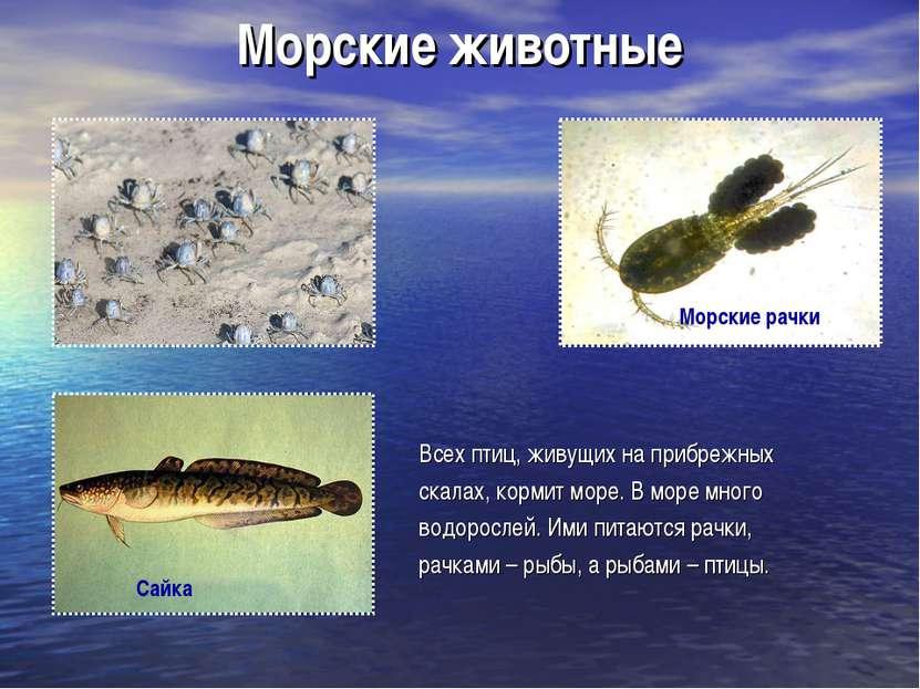 Морские животные Всех птиц, живущих на прибрежных скалах, кормит море. В море...