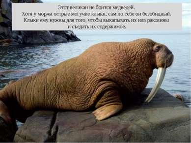 Этот великан не боится медведей. Хотя у моржа острые могучие клыки, сам по се...