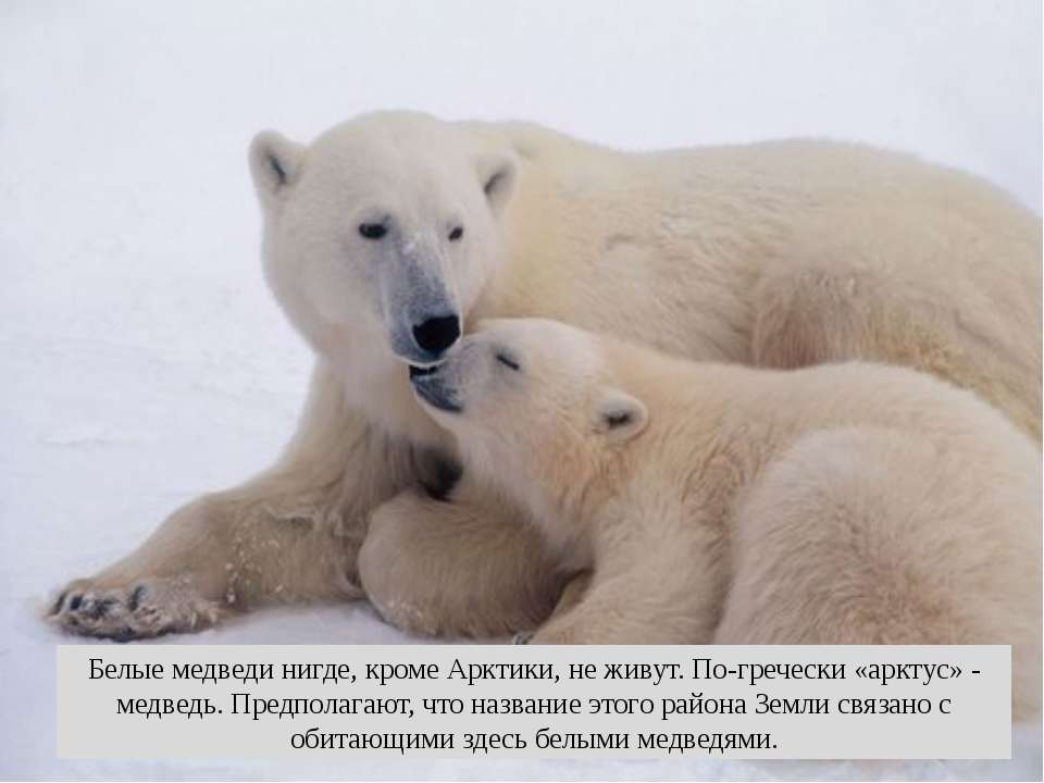 Белые медведи нигде, кроме Арктики, не живут. По-гречески «арктус» - медведь....