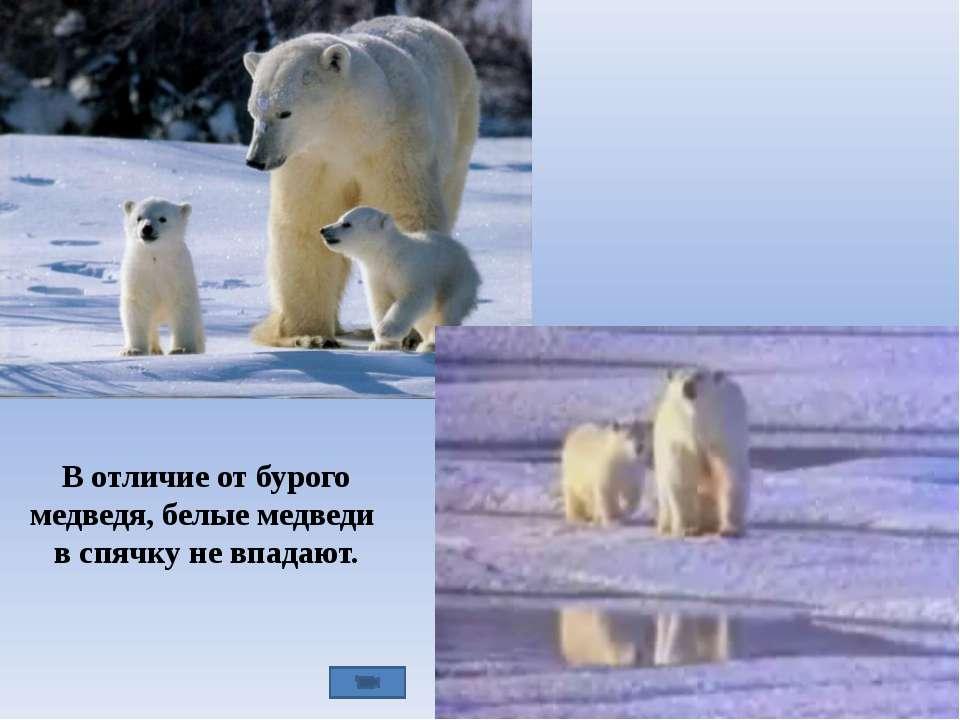 В отличие от бурого медведя, белые медведи в спячку не впадают.