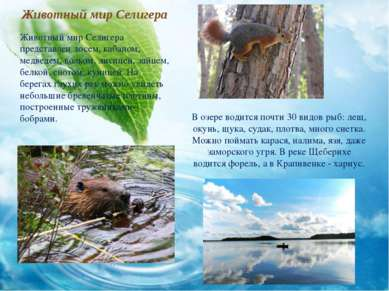 Животный мир Селигера Животный мир Селигера представлен лосем, кабаном, медве...