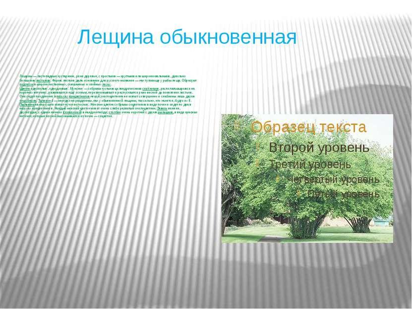 Лещина обыкновенная Лещины— листопадные кустарники, реже деревья, с простыми...