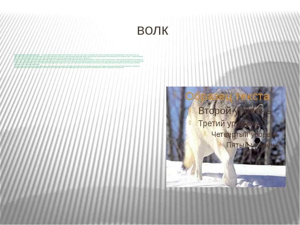 волк Волк, серый волк, обыкновенный волк — хищное млекопитающее семейства пс...
