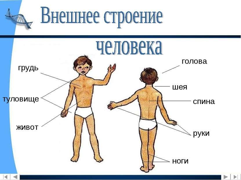 голова шея туловище спина руки ноги грудь живот