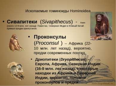 Ископаемые гоминоиды Hominoidea Сивапитеки (Sivapithecus) - Азия (около 12-8 ...