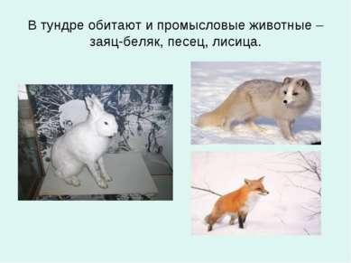 В тундре обитают и промысловые животные – заяц-беляк, песец, лисица.