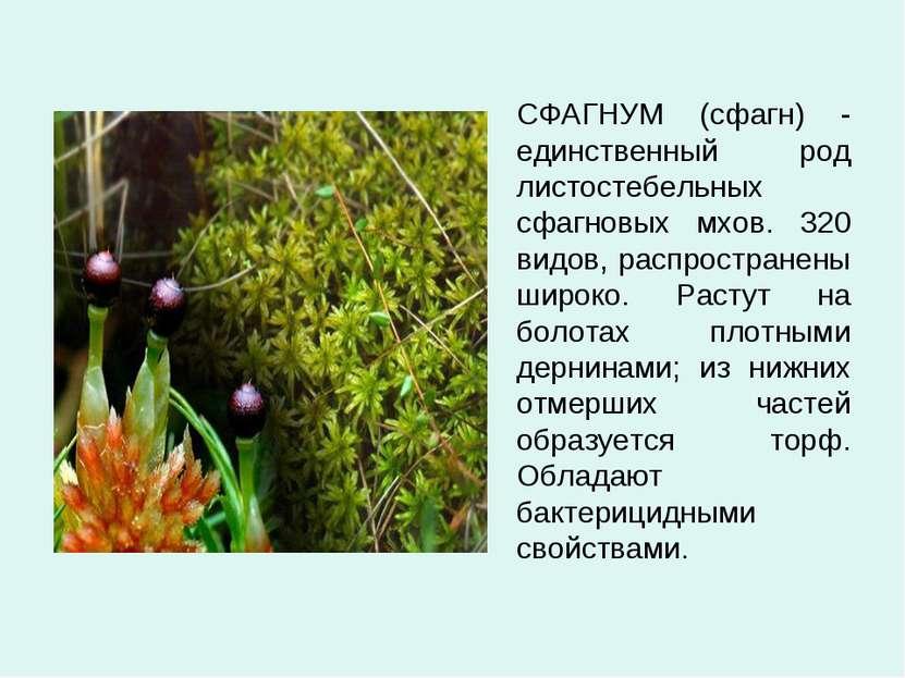 СФАГНУМ (сфагн) - единственный род листостебельных сфагновых мхов. 320 видов,...