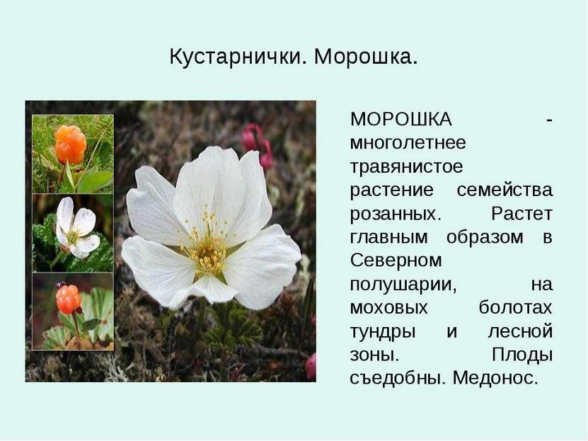 Кустарнички. Морошка. МОРОШКА - многолетнее травянистое растение семейства ро...